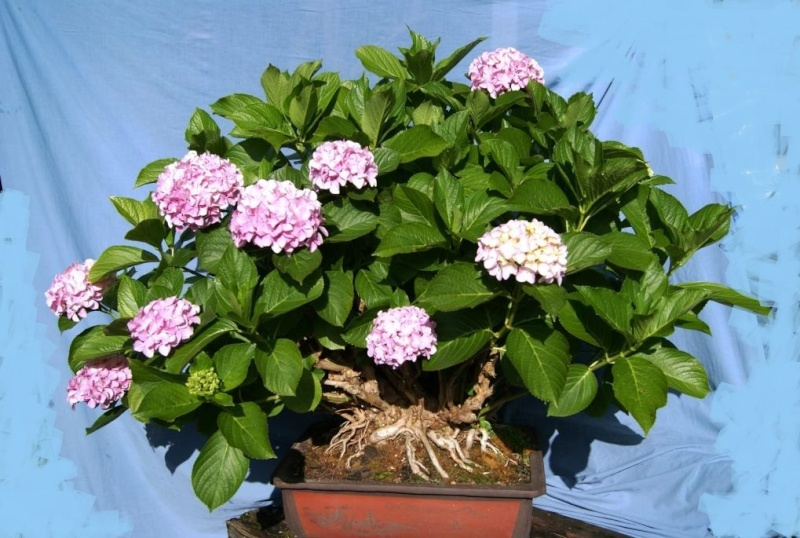 Hydrangea Bonsai from 1999 Hydrae12