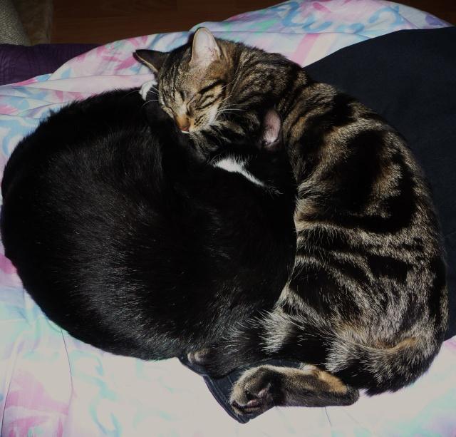 IPSOS, chat type européen, né vers le 15/04/13 en don libre 00910