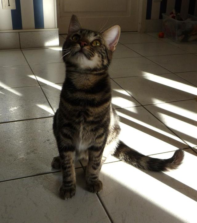 IPSOS, chat type européen, né vers le 15/04/13 en don libre 03810