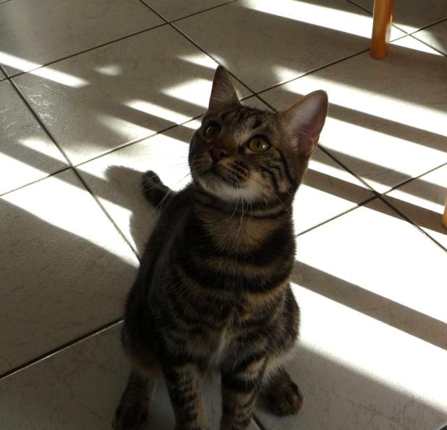 IPSOS, chat type européen, né vers le 15/04/13 en don libre 03910