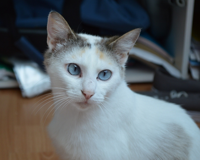Hannabelle femelle blanche et beige née le 01/09/2012 13_04_13