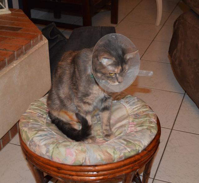 Isalyne, femelle écaille diluée née en janvier 2013 24_01_10