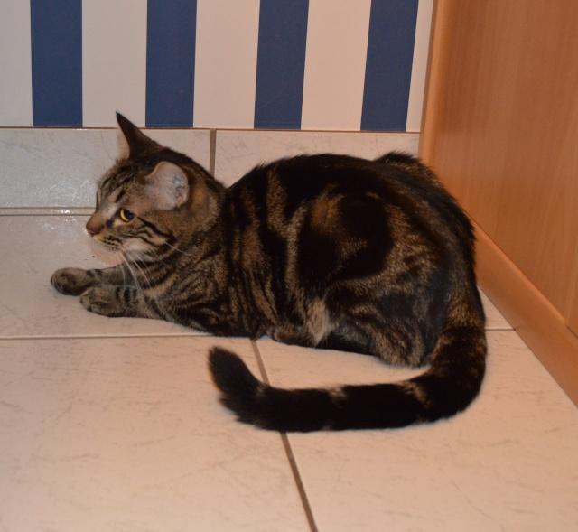 IPSOS, chat type européen, né vers le 15/04/13 en don libre 24_01_14