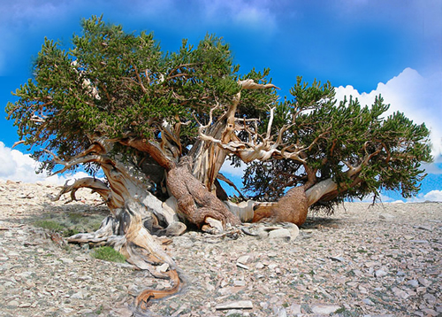 Quale delle due arti di fare bonsai condividete ed apprezzate di piu' ? 004110