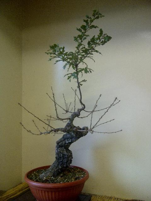 Quercus cerris - Pagina 4 0_img-10