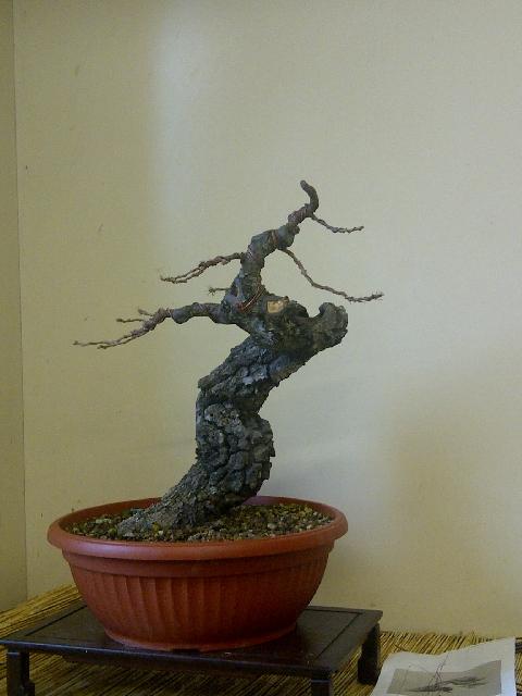 Quercus cerris - Pagina 4 0_img-11