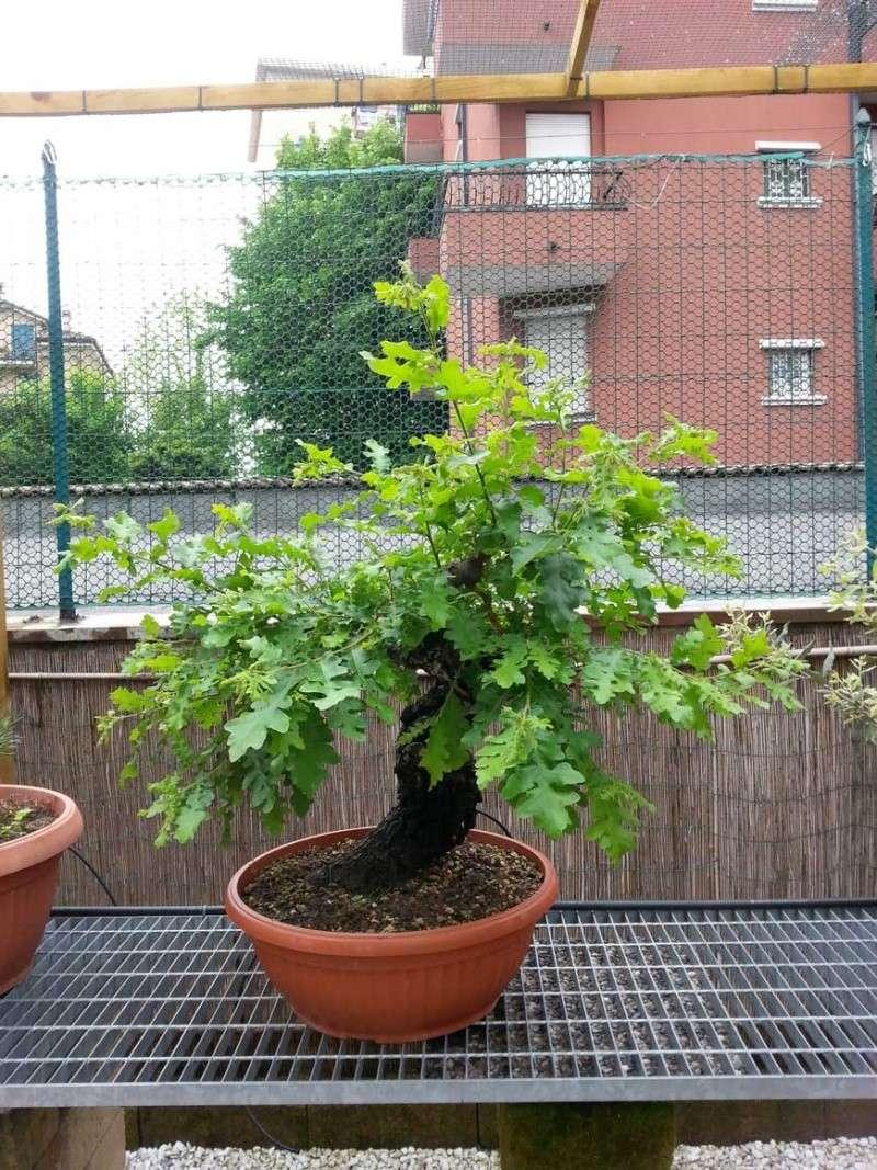 Quercus cerris - Pagina 4 20140412