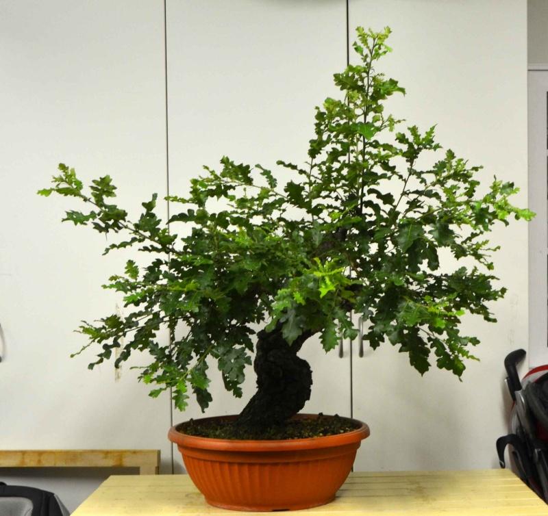 Quercus cerris - Pagina 4 Cerro-10