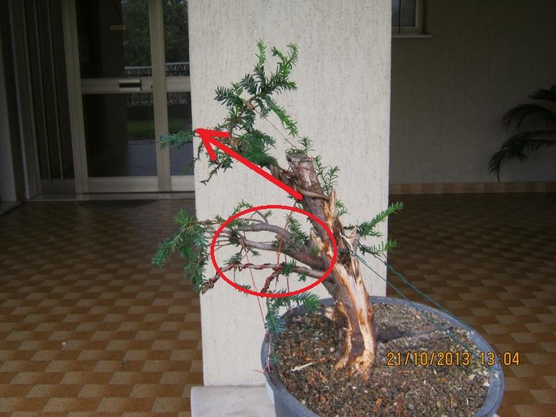 Tasso che fra un pò di tempo comincerà la strada del bonsai Tassi_10