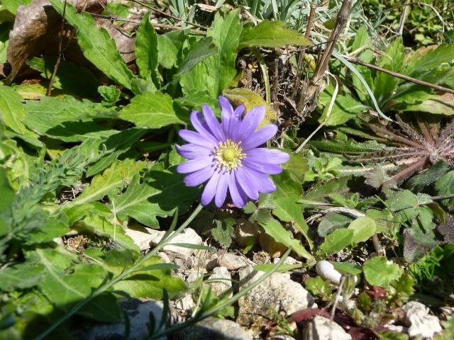 Anemona blanda - Page 5 P1210510