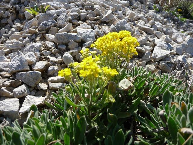 Corbeille d'or, Allyssum saxatile - Page 2 P1210610