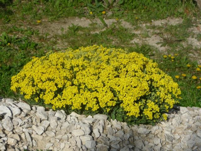 Corbeille d'or, Allyssum saxatile - Page 2 P1210912