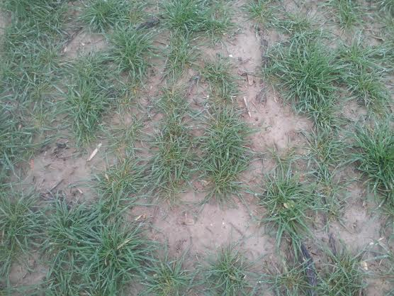 semis de blé 2013-2014 Borega11