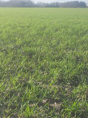 semis de blé 2013-2014 Pakito10