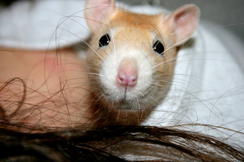 4 adorables ratounets attendent une nouvelle famille 13817210