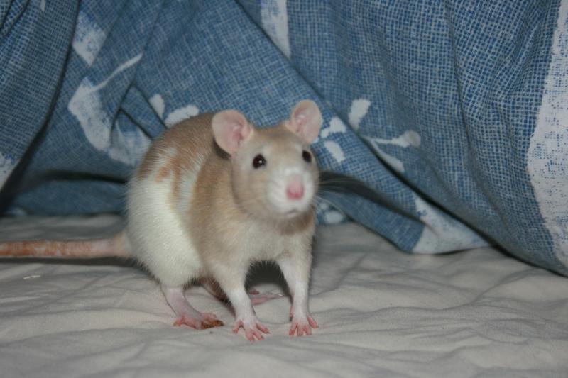 4 adorables ratounets attendent une nouvelle famille Adrien10