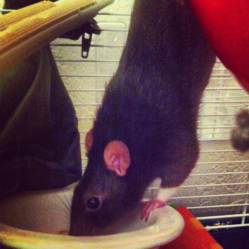 4 adorables ratounets attendent une nouvelle famille Crevet16