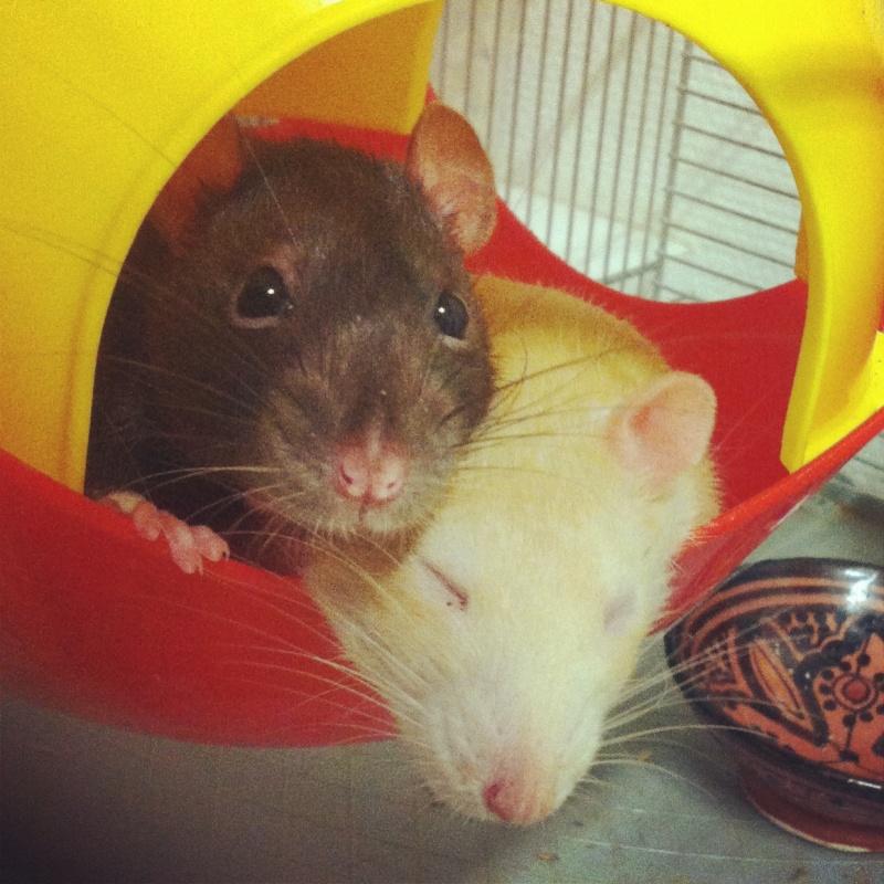 4 adorables ratounets attendent une nouvelle famille Crevet17
