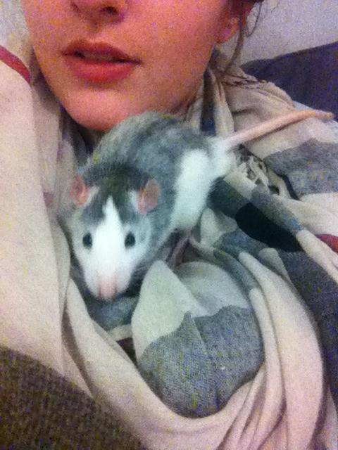 4 adorables ratounets attendent une nouvelle famille Crevet18