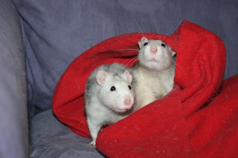 4 adorables ratounets attendent une nouvelle famille Photo_34