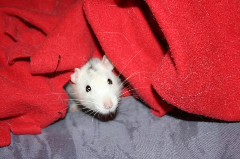 4 adorables ratounets attendent une nouvelle famille Photo_36