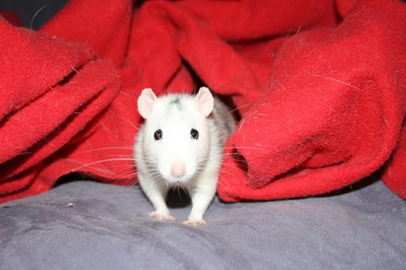 4 adorables ratounets attendent une nouvelle famille Photo_37