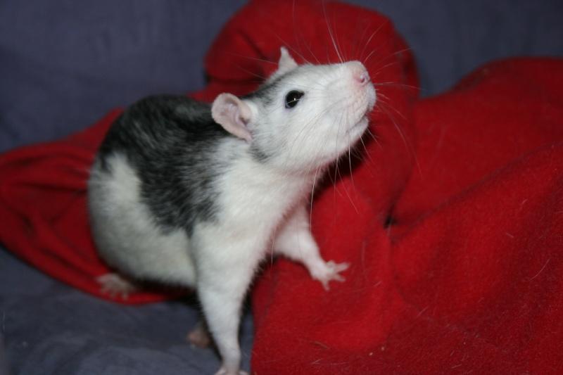 4 adorables ratounets attendent une nouvelle famille Photo_39