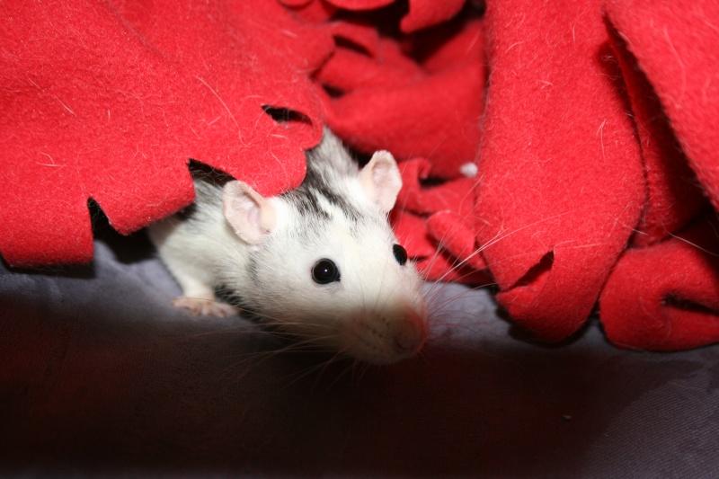 4 adorables ratounets attendent une nouvelle famille Photo_40