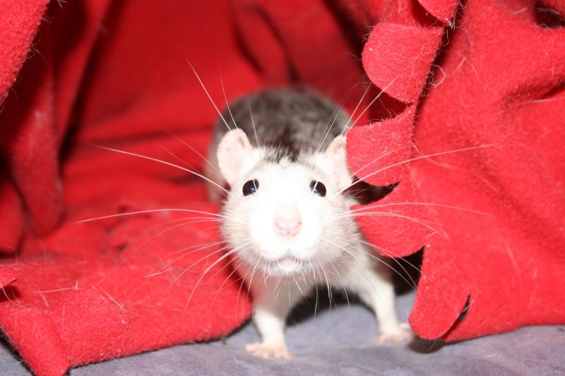 4 adorables ratounets attendent une nouvelle famille Photo_41
