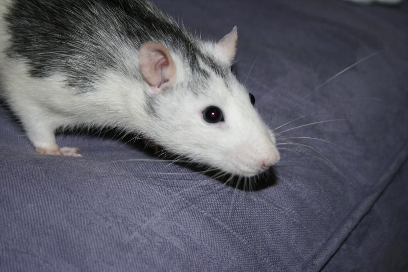 4 adorables ratounets attendent une nouvelle famille Photo_42