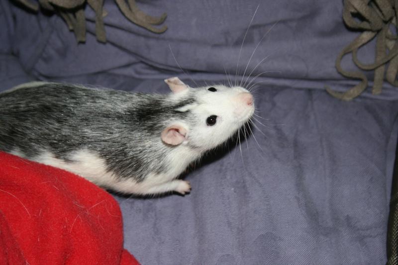 4 adorables ratounets attendent une nouvelle famille Photo_43