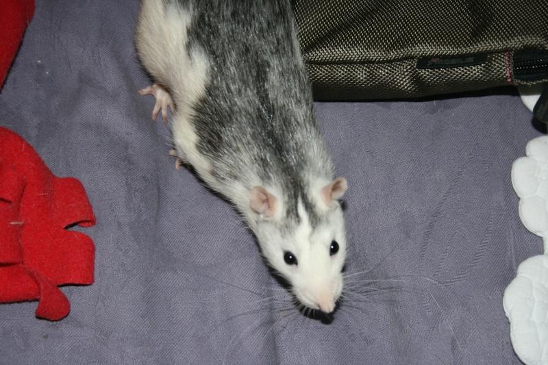 4 adorables ratounets attendent une nouvelle famille Photo_44
