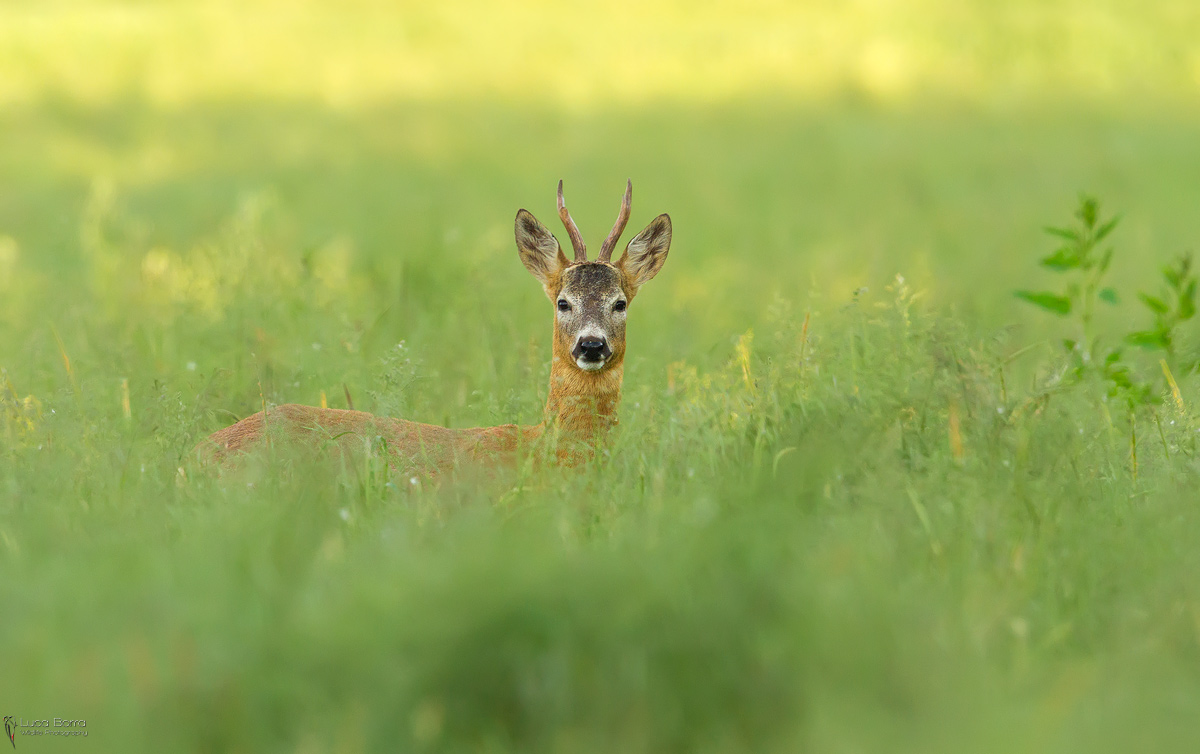capriolo Img_5711