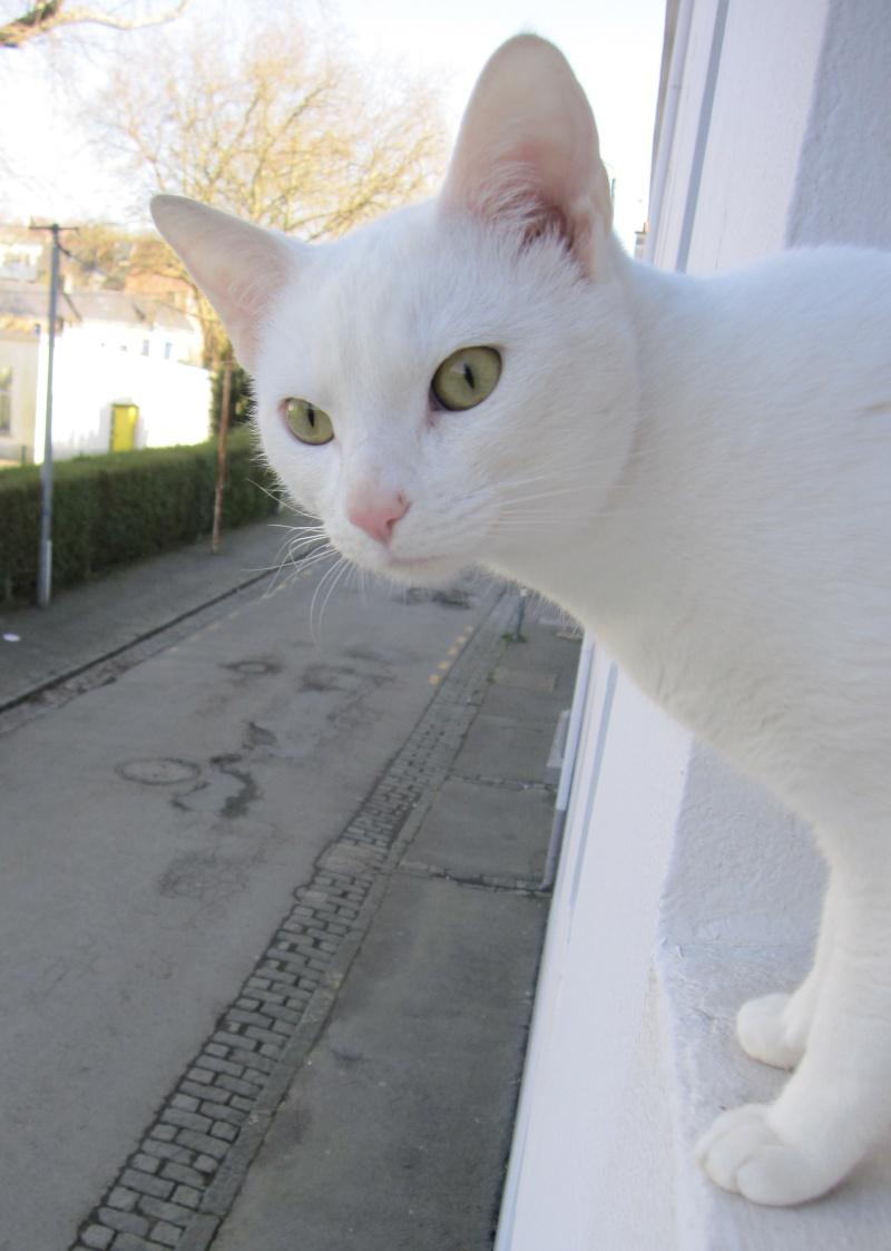 IVOIRE, chat européen blanc, né le 01/03/2013 Chat_b14