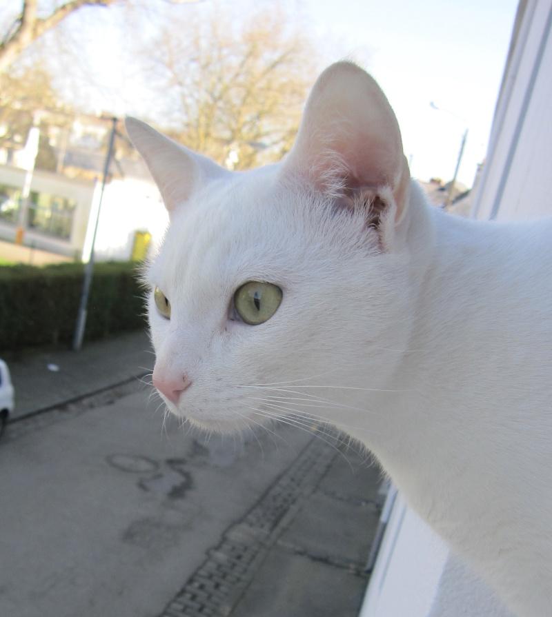 IVOIRE, chat européen blanc, né le 01/03/2013 Chat_b15