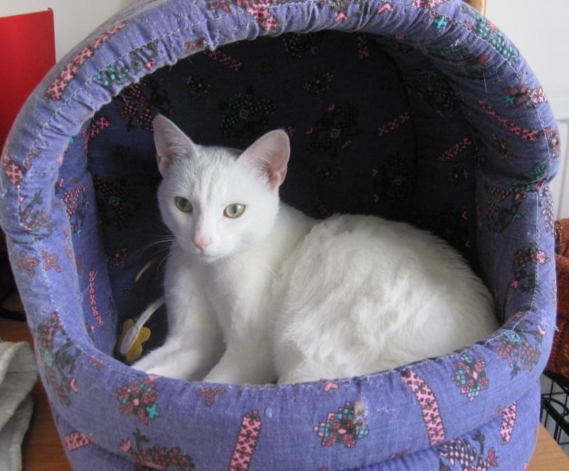 IVOIRE, chat européen blanc, né le 01/03/2013 Chat_b16