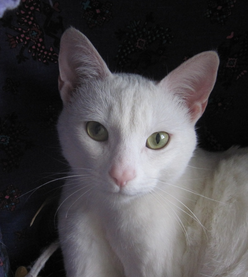 IVOIRE, chat européen blanc, né le 01/03/2013 Chat_b17