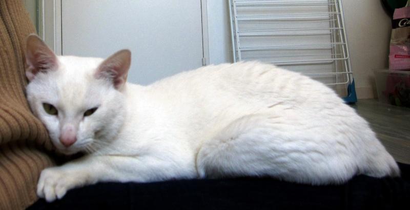 IVOIRE, chat européen blanc, né le 01/03/2013 Chat_b18