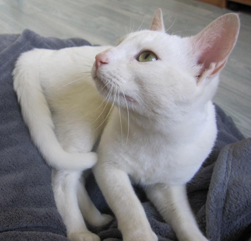 IVOIRE, chat européen blanc, né le 01/03/2013 Chat_b20