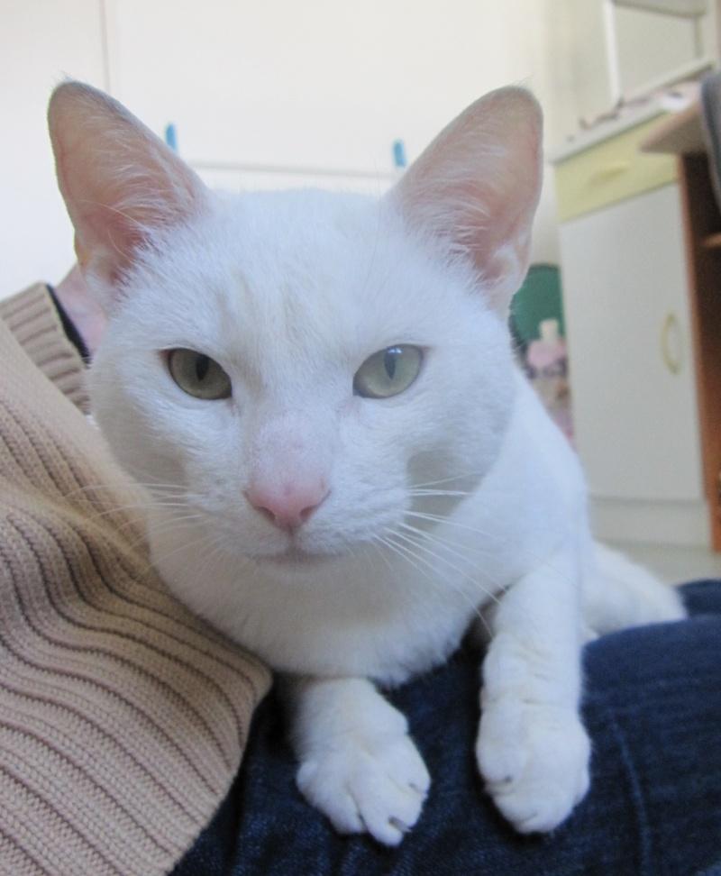 IVOIRE, chat européen blanc, né le 01/03/2013 Chat_b21