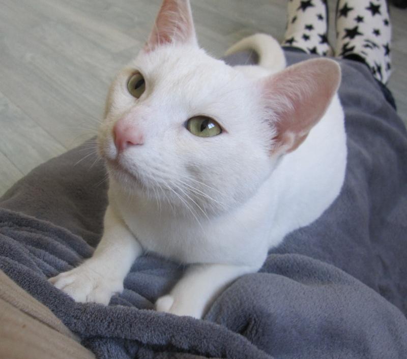 IVOIRE, chat européen blanc, né le 01/03/2013 Chat_b22