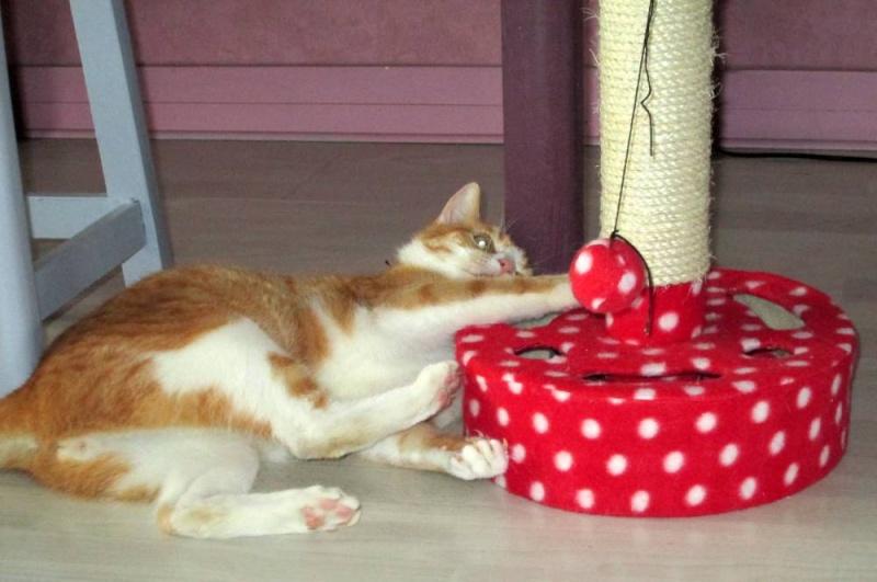 Hemingway, mâle roux et blanc né le 29/07/2012, en don libre Heming23