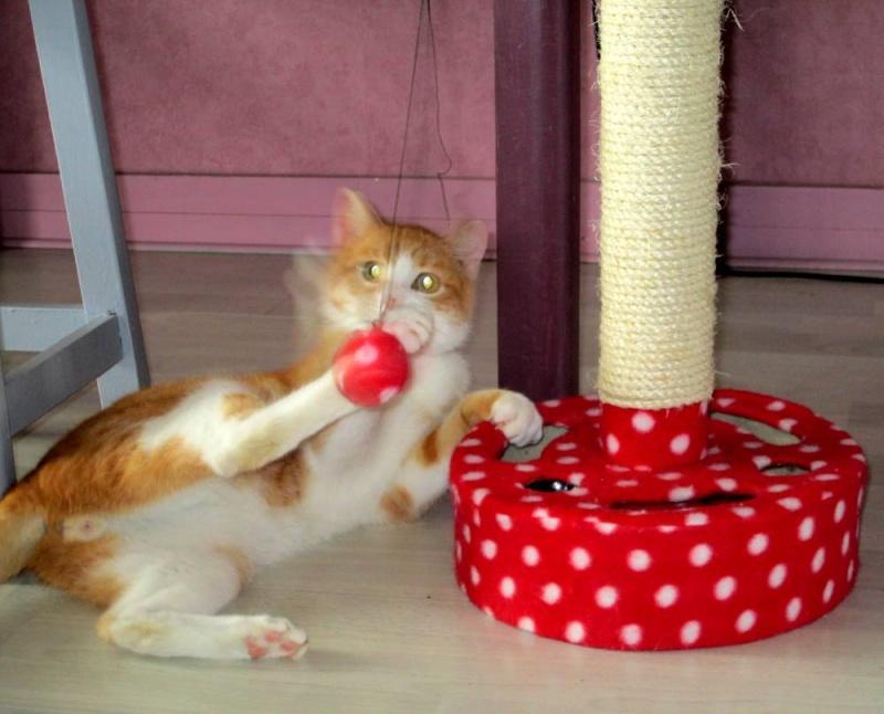 Hemingway, mâle roux et blanc né le 29/07/2012, en don libre Heming24