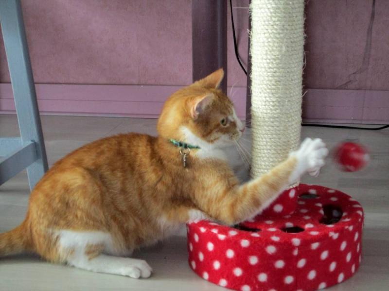 Hemingway, mâle roux et blanc né le 29/07/2012, en don libre Heming25