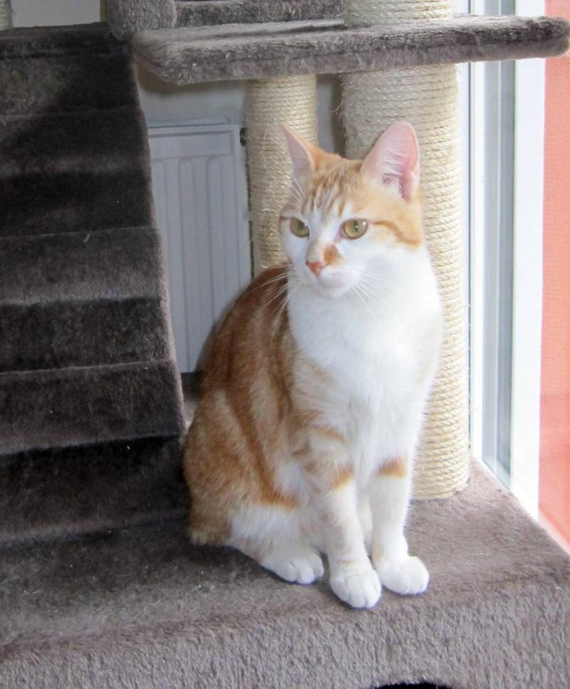 HEMMA, chatte européenne, rousse et blanche, née le 01/12/2012 Hemma_10
