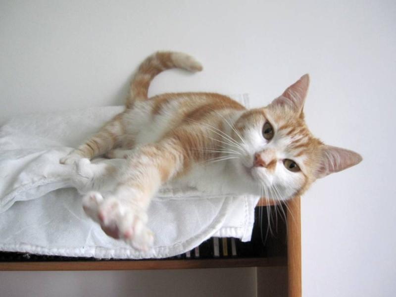 HEMMA, chatte européenne, rousse et blanche, née le 01/12/2012 Hemma_11