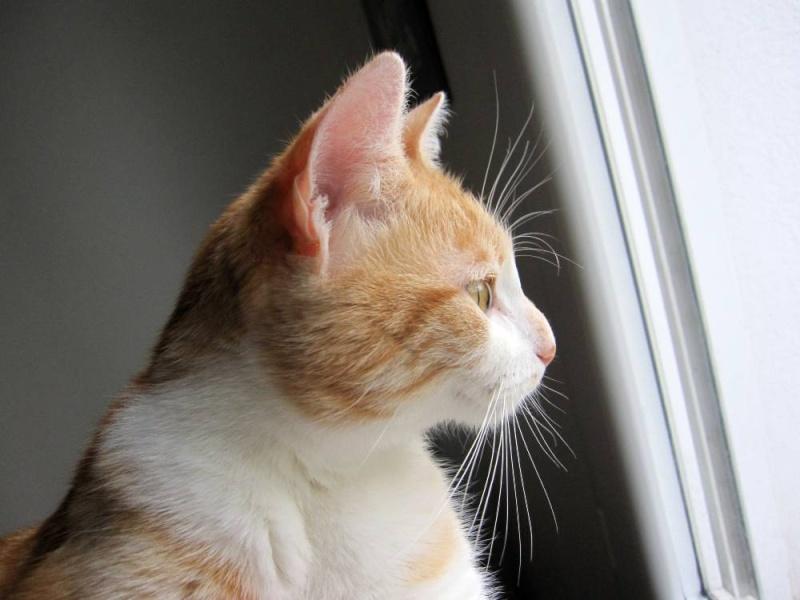 HEMMA, chatte européenne, rousse et blanche, née le 01/12/2012 Hemma_12