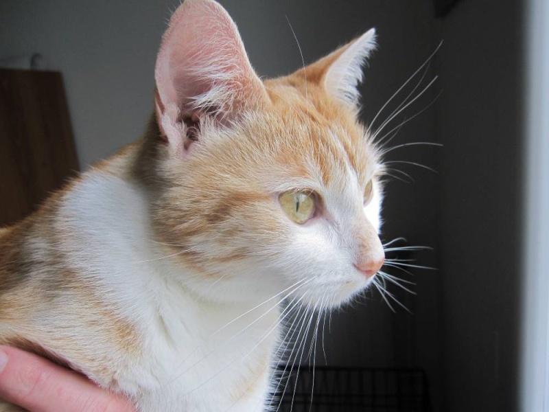 HEMMA, chatte européenne, rousse et blanche, née le 01/12/2012 Hemma_13