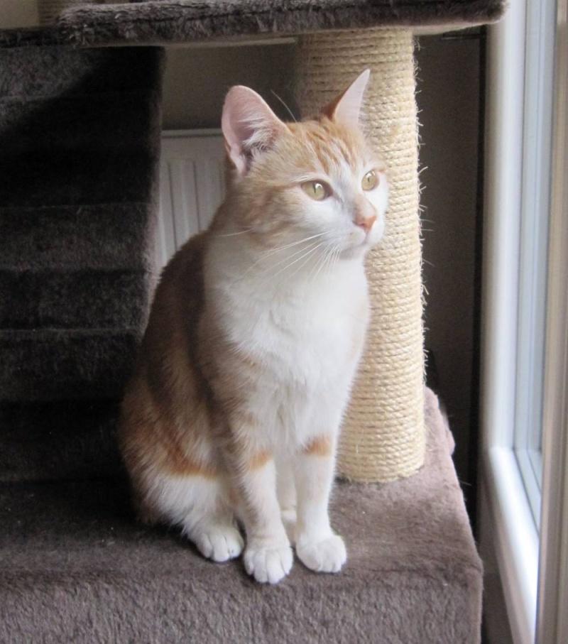 HEMMA, chatte européenne, rousse et blanche, née le 01/12/2012 Hemma_14