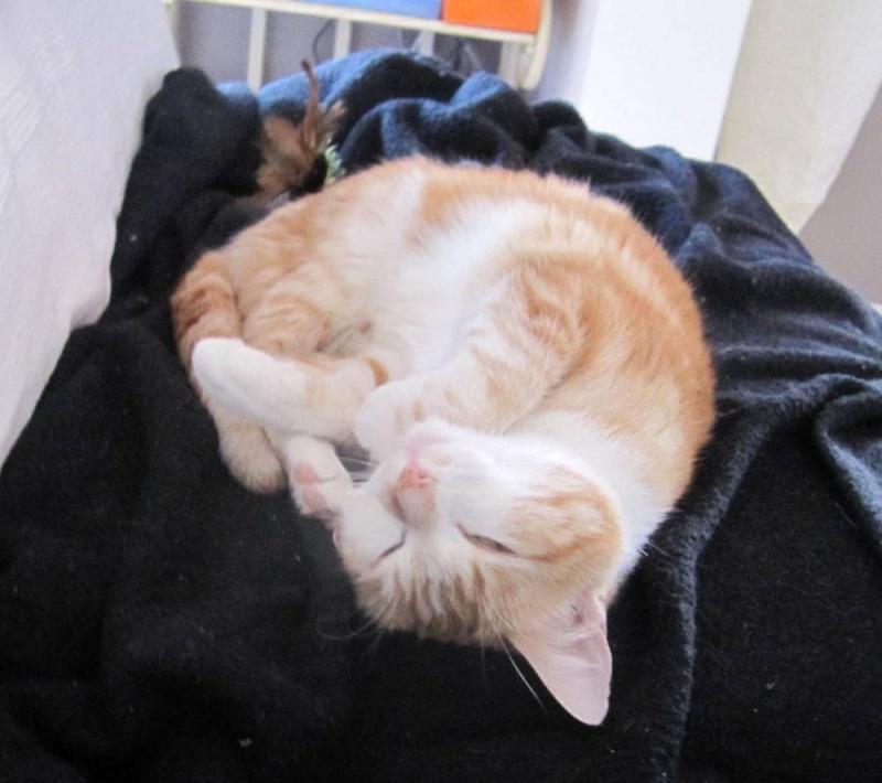 HEMMA, chatte européenne, rousse et blanche, née le 01/12/2012 Hemma_18
